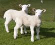 Jewish and Muslim methods of slaughter prioritise animal welfare