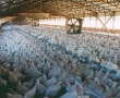 New poultry stunning rules may affect quality, warns Dutch firm