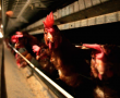 Government planning to repeal animal welfare codes