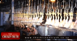 Stunning  - The Chicken Method in South Africa
